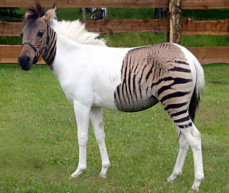 Eclyse the Zorse
